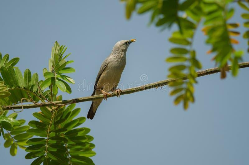 situación Castaña-atada del malabaricus del Sturnus del pájaro del estornino en la rama fotografía de archivo libre de regalías