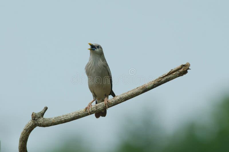 situación Castaña-atada del malabaricus del Sturnus del pájaro del estornino en la rama fotos de archivo
