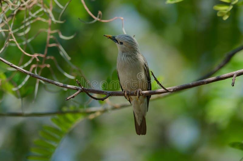 situación Castaña-atada del malabaricus del Sturnus del pájaro del estornino en la rama imagen de archivo libre de regalías