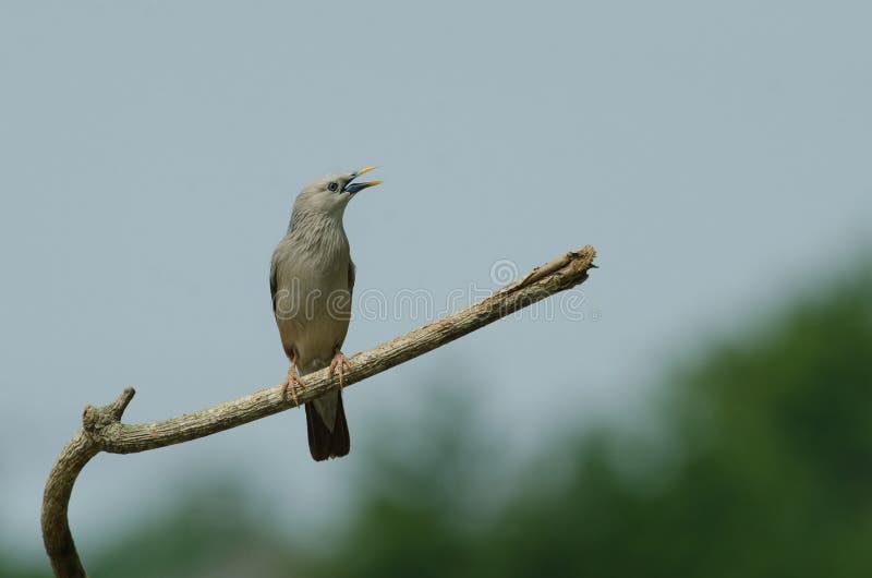 situación Castaña-atada del malabaricus del Sturnus del pájaro del estornino en la rama foto de archivo libre de regalías