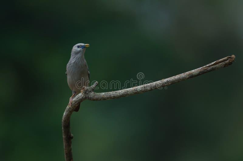 situación Castaña-atada del malabaricus del Sturnus del pájaro del estornino en la rama imágenes de archivo libres de regalías