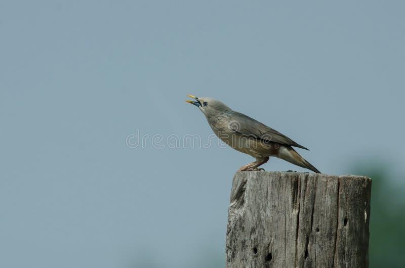 situación Castaña-atada del malabaricus del Sturnus del pájaro del estornino en la rama imagenes de archivo