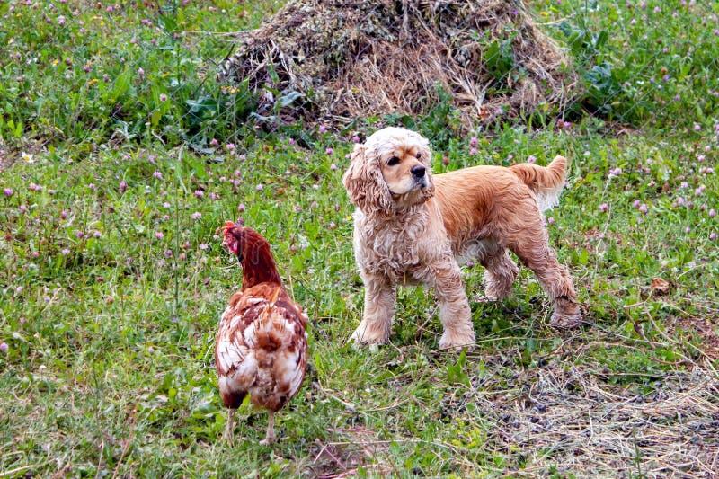 Situación de Cocker Spaniel del americano cerca del pollo en la hierba verde fotografía de archivo libre de regalías
