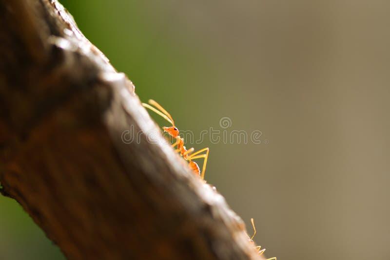Situación de la acción de la hormiga en rama de árbol - el cierre encima del insecto macro del tiro del paseo de la hormiga de fu imagen de archivo