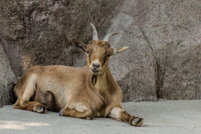 Situación de la cabra de Brown el Camerún en la roca fotografía de archivo