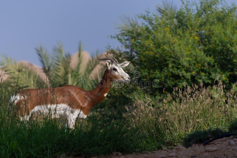 Situación de la gacela en la hierba con un fondo del cielo azul fotos de archivo libres de regalías