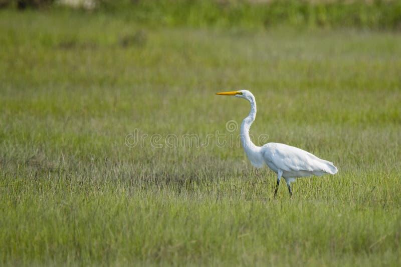 Situación de la garceta de Great White en Marsh Field foto de archivo libre de regalías