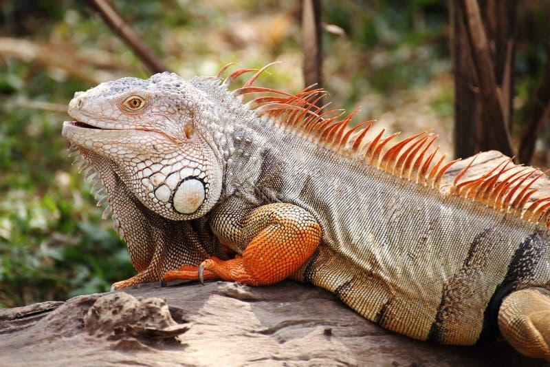 Situación de la iguana foto de archivo