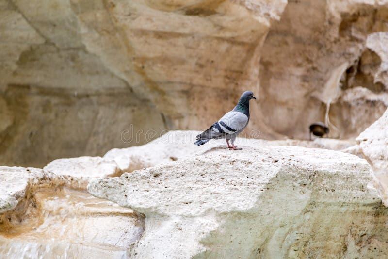 Situación de la paloma en la escultura de la roca de la fuente famosa del Trevi en Roma imagen de archivo libre de regalías