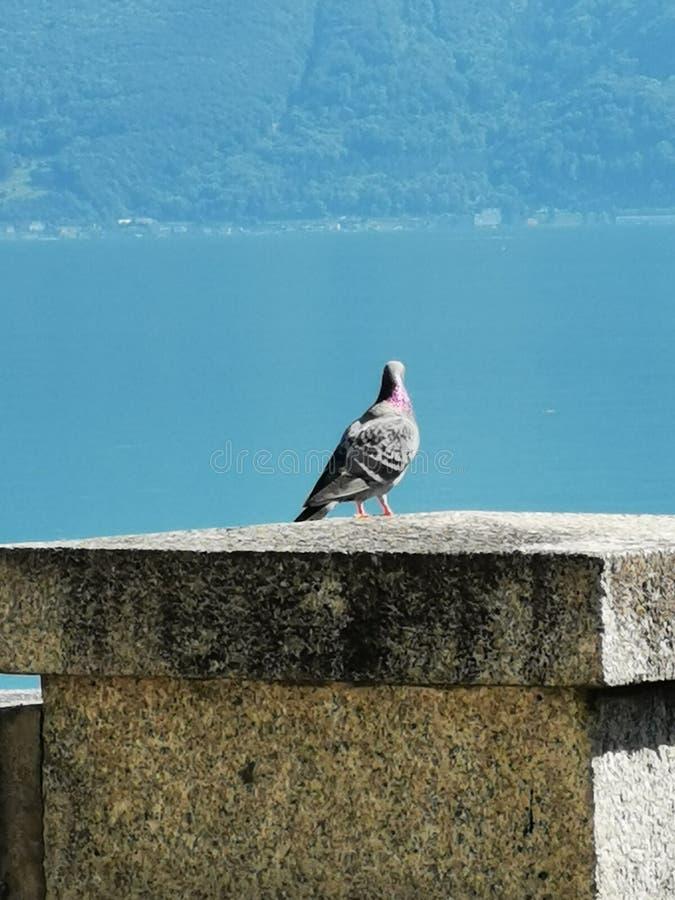 Situación de la paloma en una pared delante del agua Vevey Suiza imágenes de archivo libres de regalías