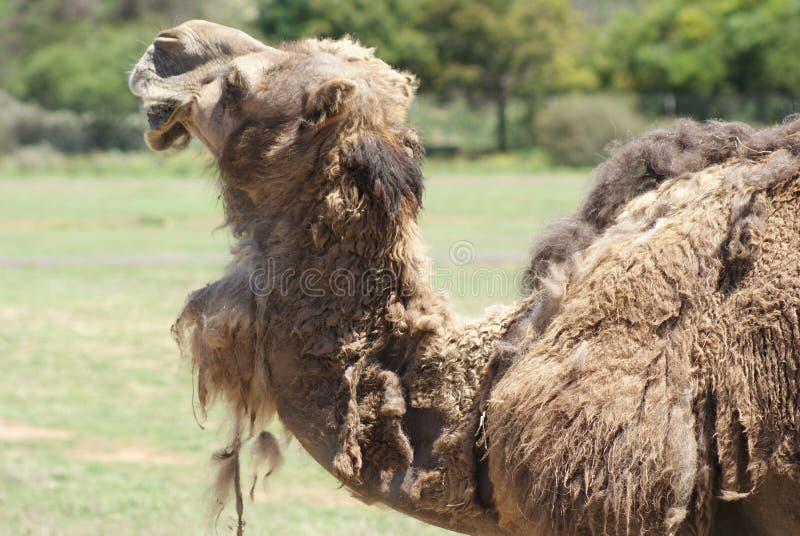 Situación del camello el malteado fotografía de archivo libre de regalías