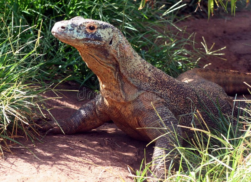 Situación del dragón de Komodo fotos de archivo