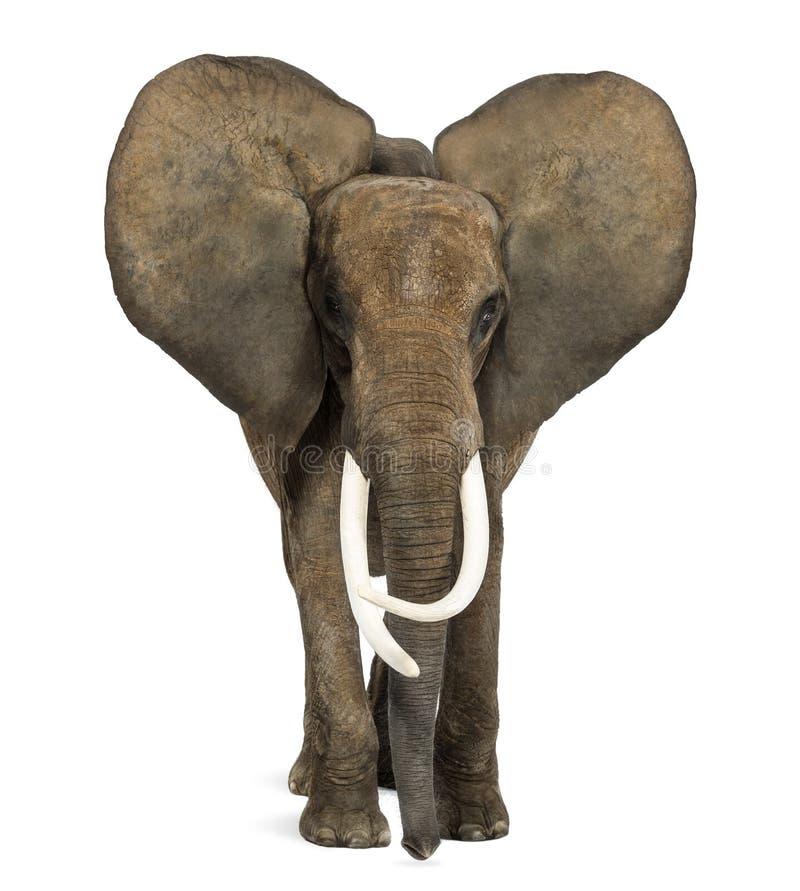 Situación del elefante africano, oídos para arriba foto de archivo