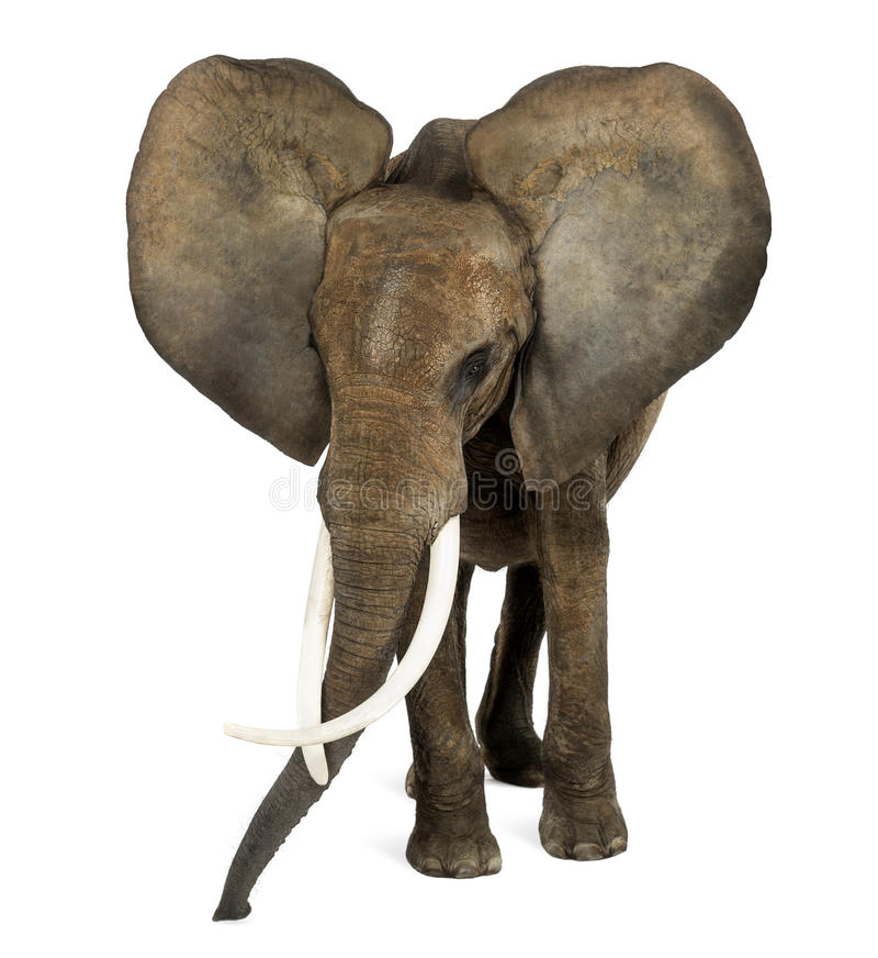 Situación del elefante africano, oídos para arriba, aislante fotografía de archivo