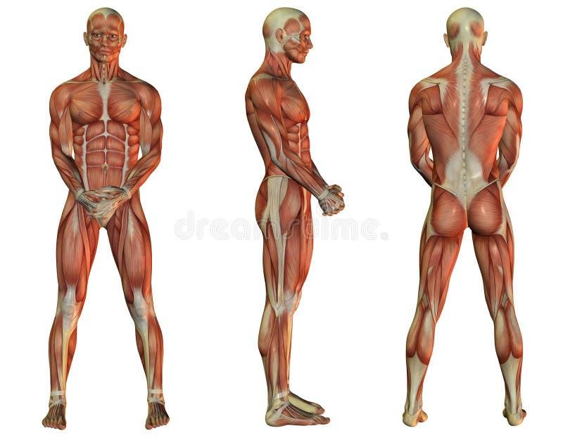 Situación del hombre del músculo ilustración del vector