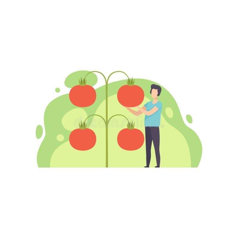 Situación del hombre joven al lado del ejemplo cada vez mayor gigante del vector de los tomates en un fondo blanco stock de ilustración