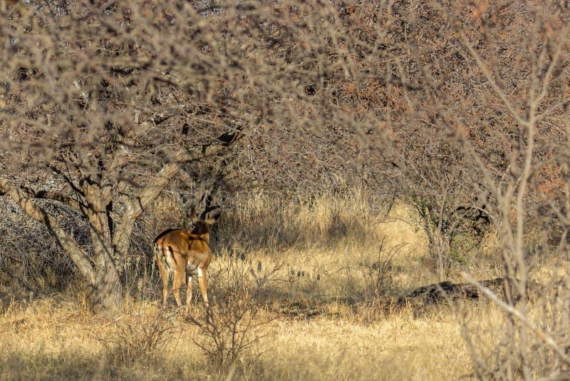 Situación del impala en la sombra de un árbol foto de archivo