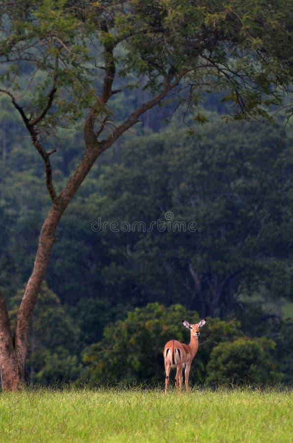 Situación del impala sola foto de archivo libre de regalías