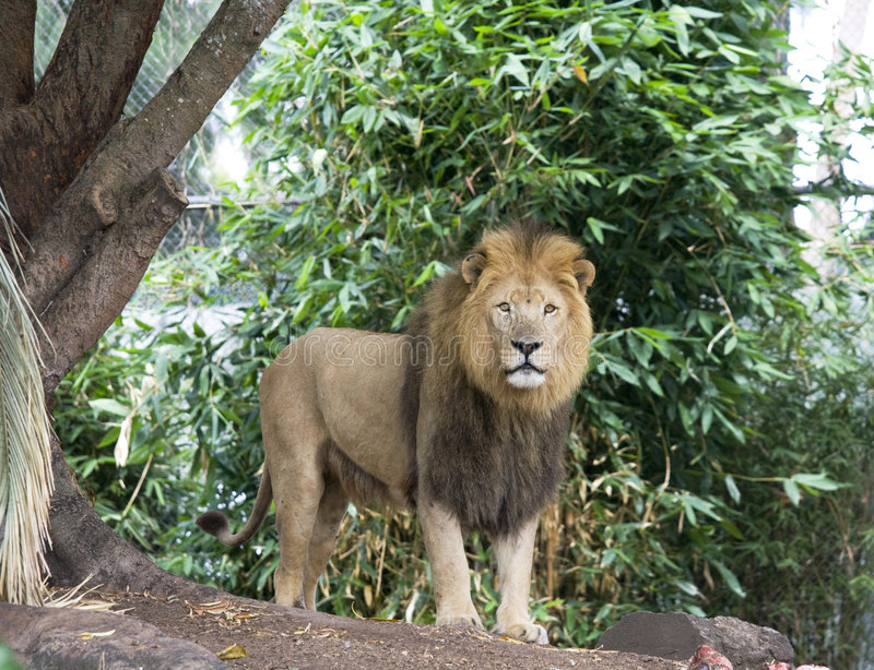 Situación del león imagenes de archivo