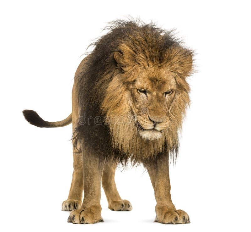 Situación del león, mirando abajo, Panthera Leo, 10 años, aislante imagen de archivo