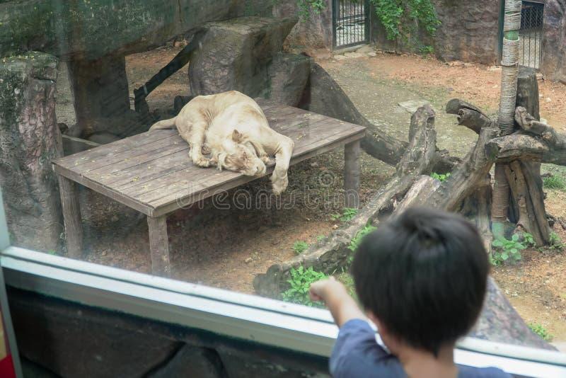 Situación del muchacho que mira el león que duerme fuera de la ventana imagen de archivo