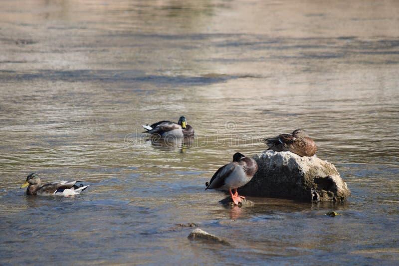Situación del pato en piedra fotografía de archivo