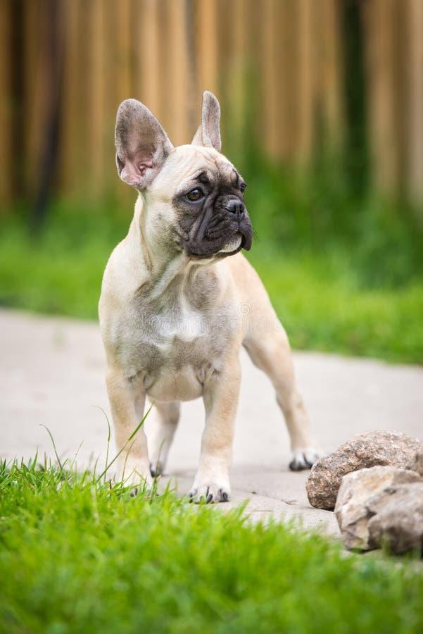 Situación del perrito del dogo francés imágenes de archivo libres de regalías