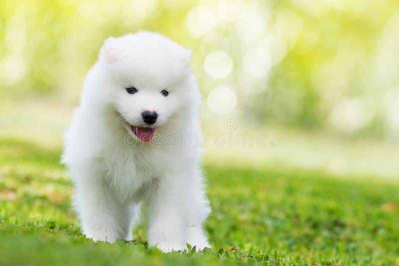 Situación del perrito del samoyedo en un prado imagen de archivo