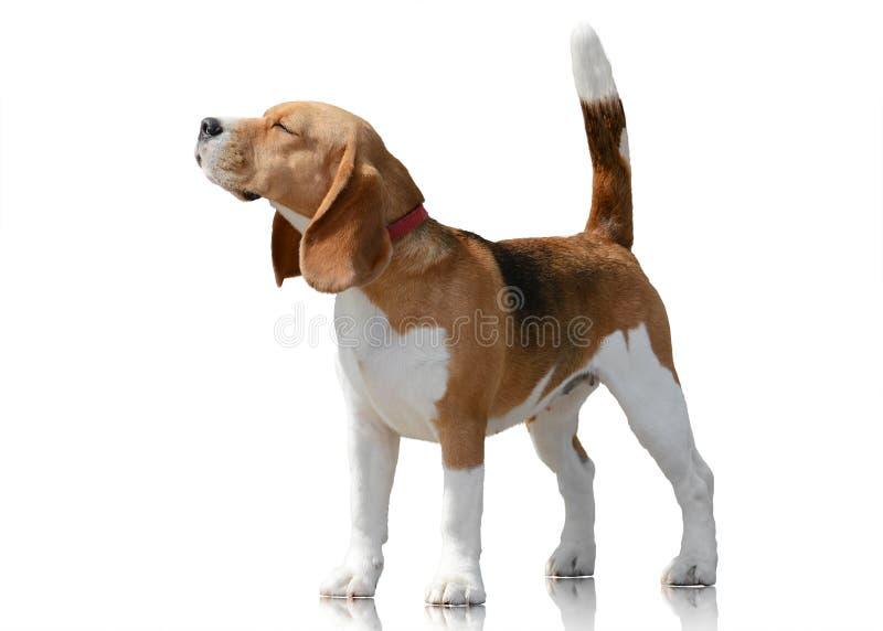 Situación del perro del beagle aislada en el fondo blanco Front View fotografía de archivo libre de regalías