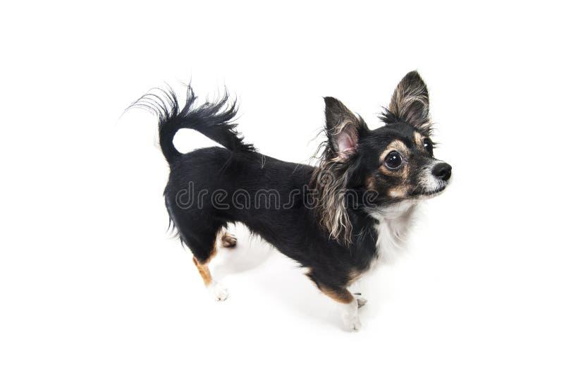 Situación del perro del terrier de juguete aislada en blanco foto de archivo