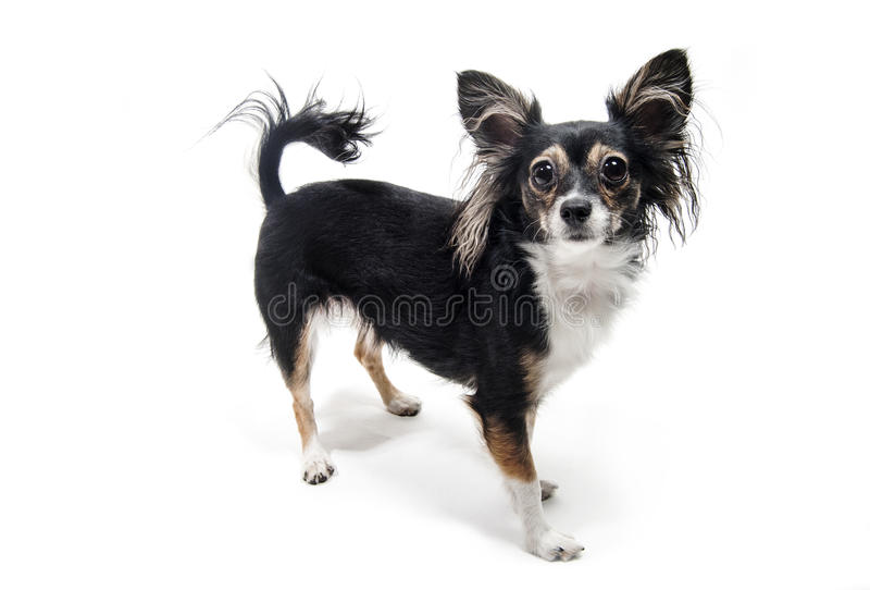 Situación del perro del terrier de juguete aislada en blanco foto de archivo libre de regalías