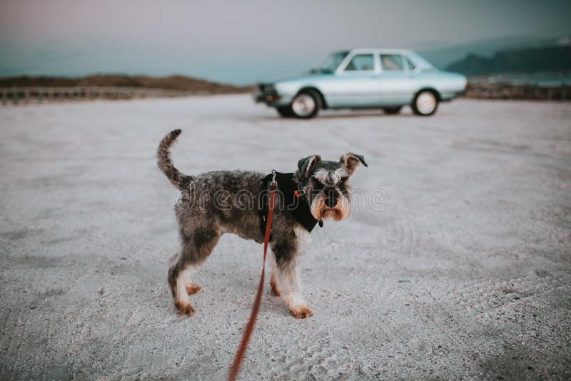 Situación del perro del Schnauzer en un correo en la arena con un coche azul claro del vintage en el fondo imagen de archivo