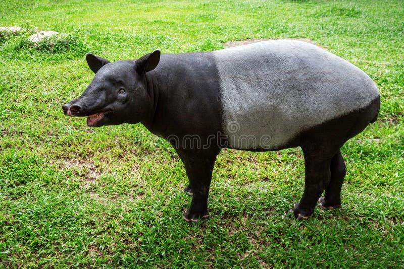 Situación del tapir imagen de archivo libre de regalías