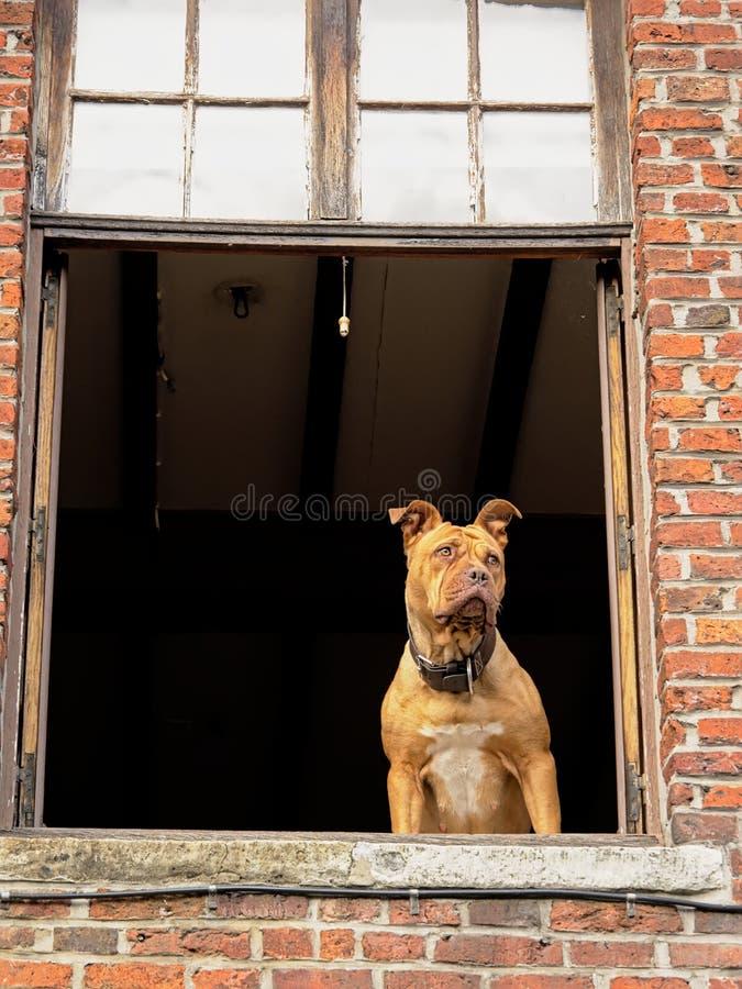 Situación del terrier del pitbull de Brown en una ventana abierta, anticipando curiosamente imágenes de archivo libres de regalías