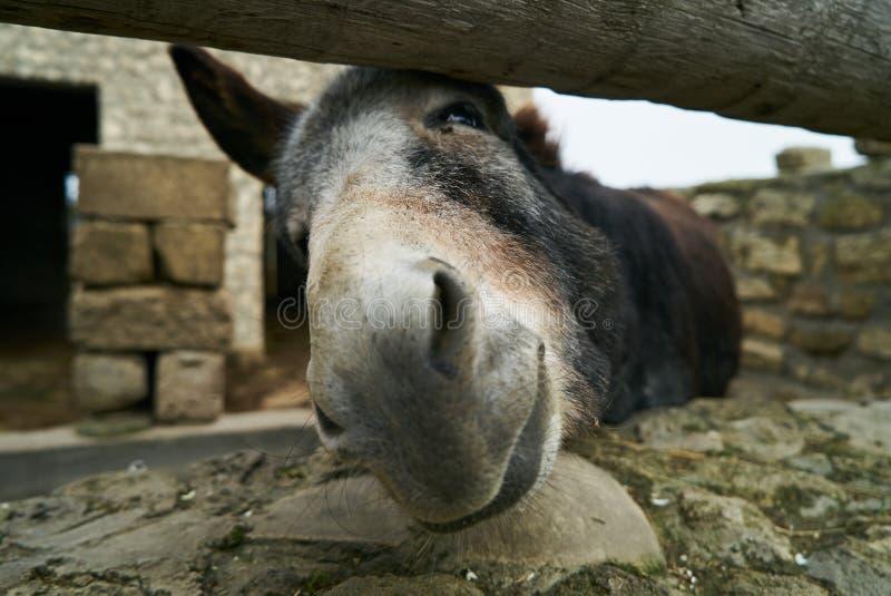 Situación divertida del burro en la parada detrás de la cerca afuera imagen de archivo libre de regalías