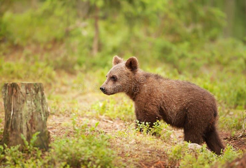 Situación eurasiática del cachorro de oso marrón en bosque imagen de archivo