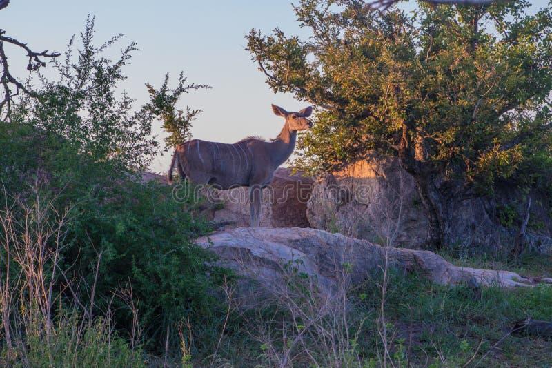 Situación femenina del antílope de Kudu fotografía de archivo libre de regalías