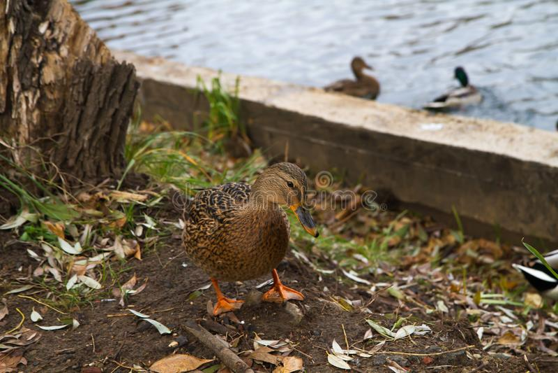 Situación femenina del pato del pato silvestre en los bancos de la charca imagenes de archivo