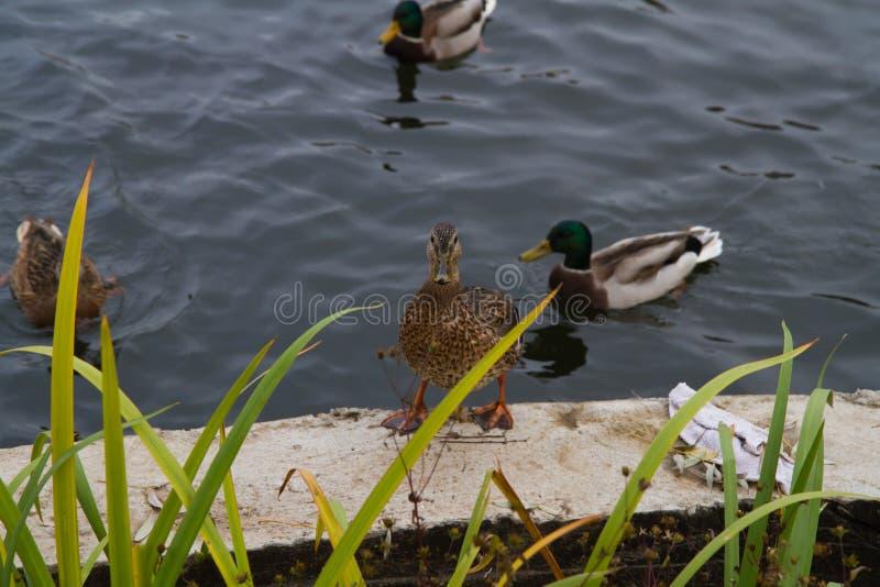 Situación femenina del pato del pato silvestre en los bancos de la charca imagen de archivo