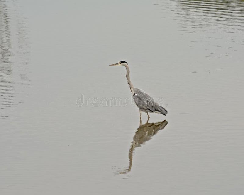 Situación gris de la garza en el lago, reflejando en el agua fotos de archivo libres de regalías