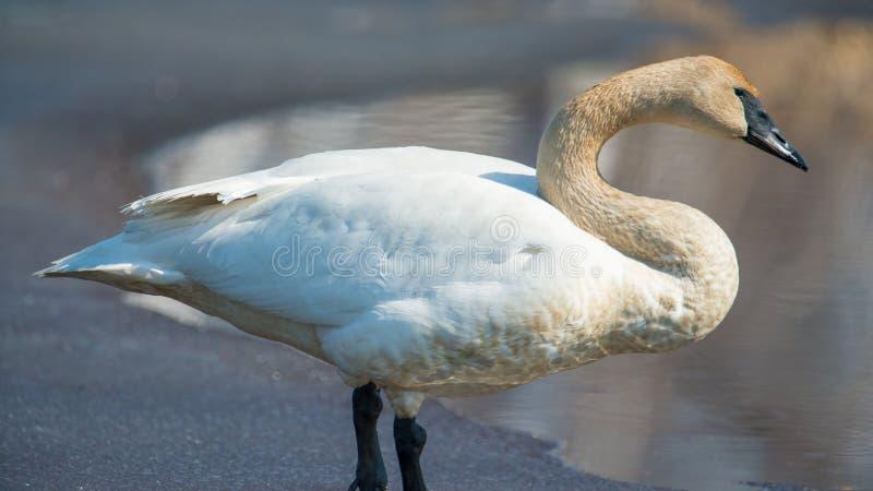 Situación individual del cisne de trompetista en el hielo - tomado durante las migraciones tempranas de la primavera en el área d imagen de archivo libre de regalías
