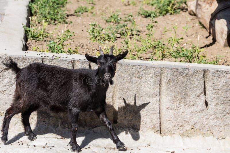 Situación negra de la cabra del Camerún en la roca fotos de archivo