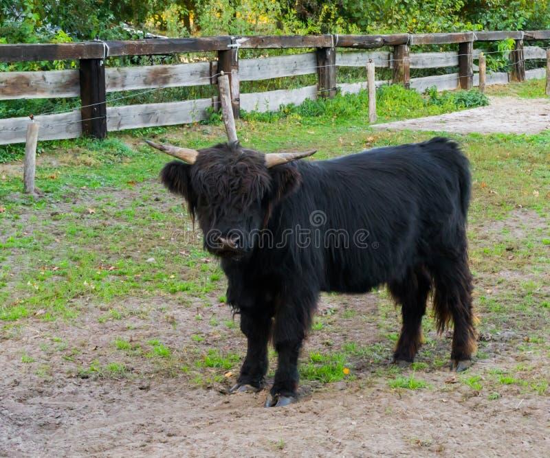 Situación negra juvenil en el pasto, retrato de la vaca de la montaña de bóvidos jovenes imagen de archivo