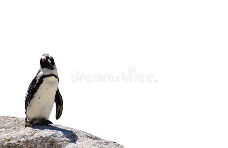 Situación negro-con base africana del pingüino en una roca aislada en un fondo blanco fotografía de archivo libre de regalías