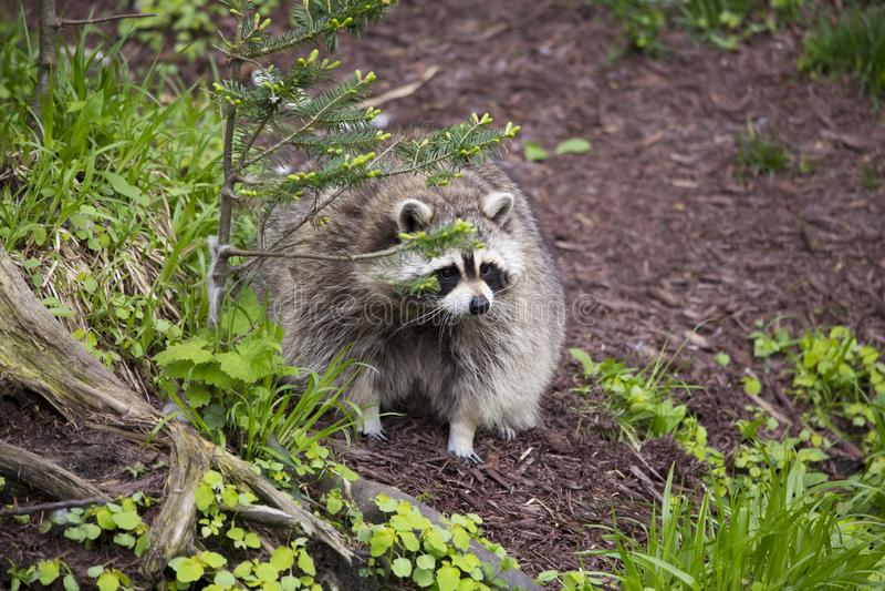 Situaci?n obesa del mapache transfixed en jard?n detr?s del arbusto fotos de archivo