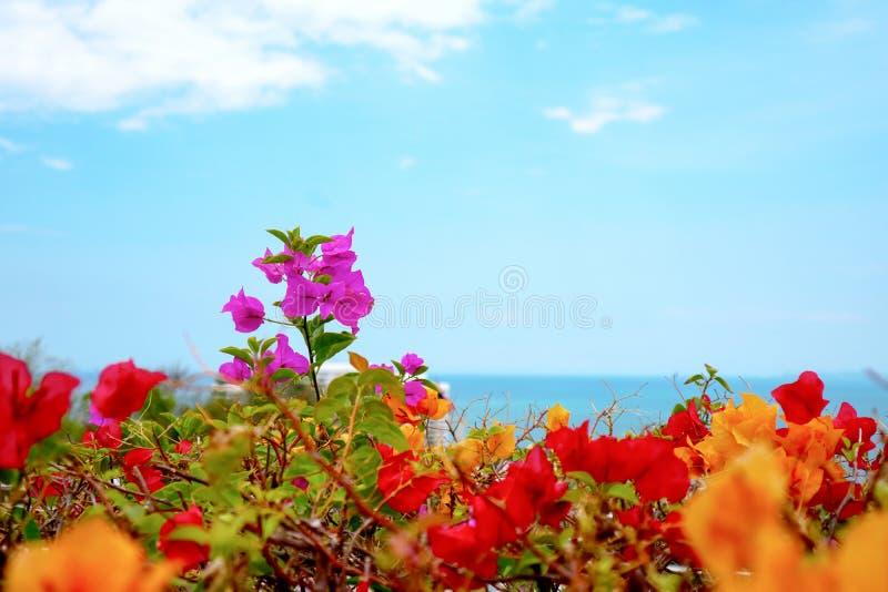 situación pasada de la flor de la buganvilla entre la flor colorida fotografía de archivo libre de regalías
