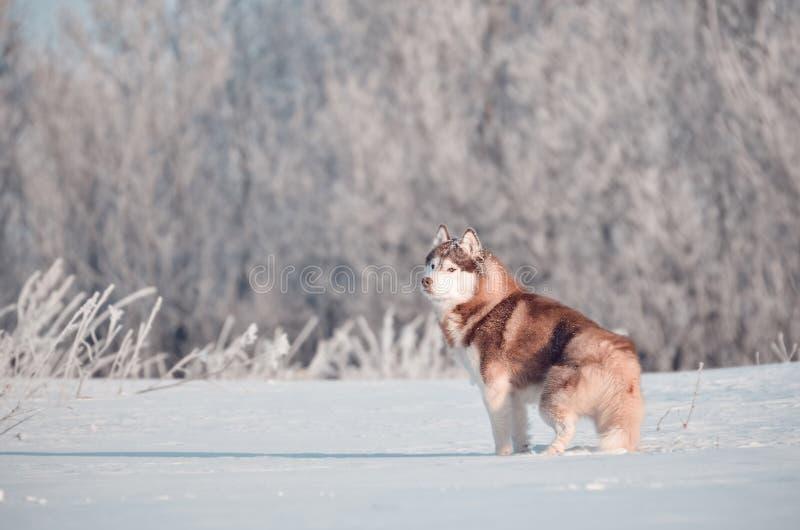 Situación roja del perro del husky siberiano en la escarchado del bosque del invierno del hoar foto de archivo