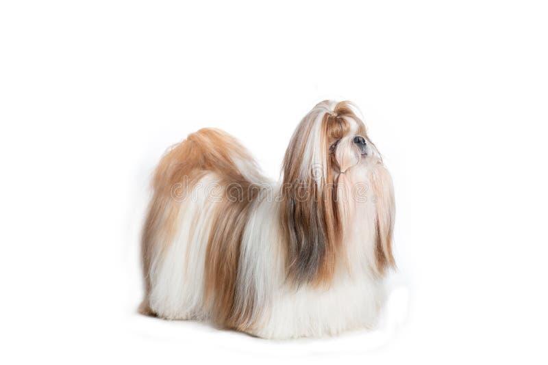 Situación roja y blanca del perro del tzu de Shih aislada en el contexto blanco fotos de archivo
