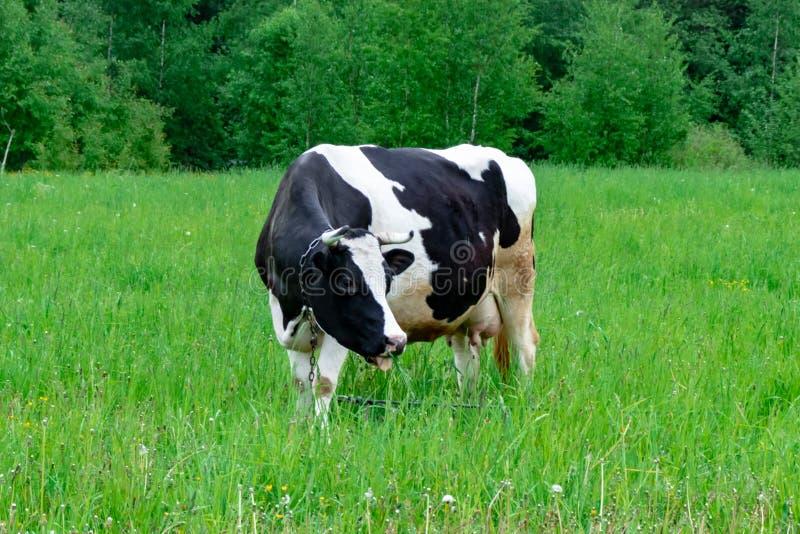 Situaci?n manchada blanco y negro en un pasto rural verde, ganados lecheros de la vaca de leche de Holstein que pastan en el pueb imágenes de archivo libres de regalías