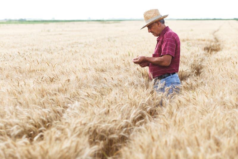 Situaci?n mayor del granjero en una cosecha de examen del campo de trigo fotos de archivo